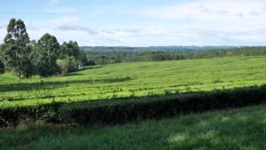 Mateanbau in der Provinz Misiones