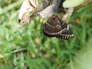 Handtellergrosser Schmetterling