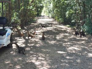 Coatis überall, total frech und an Touristen gewöhnt.