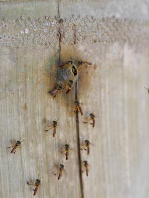 Minibienen in Björns Garten